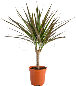 Dracaena potted plant