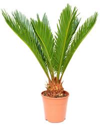Phoenix Plant